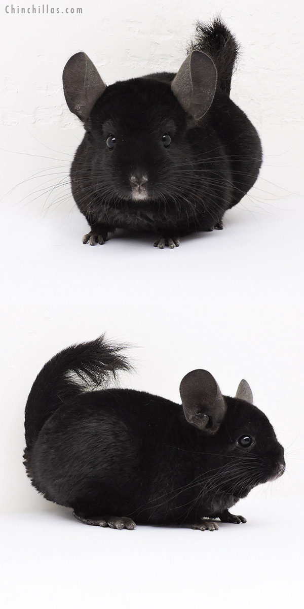 15062 Ebony ( Locken Carrier ) Female Chinchilla