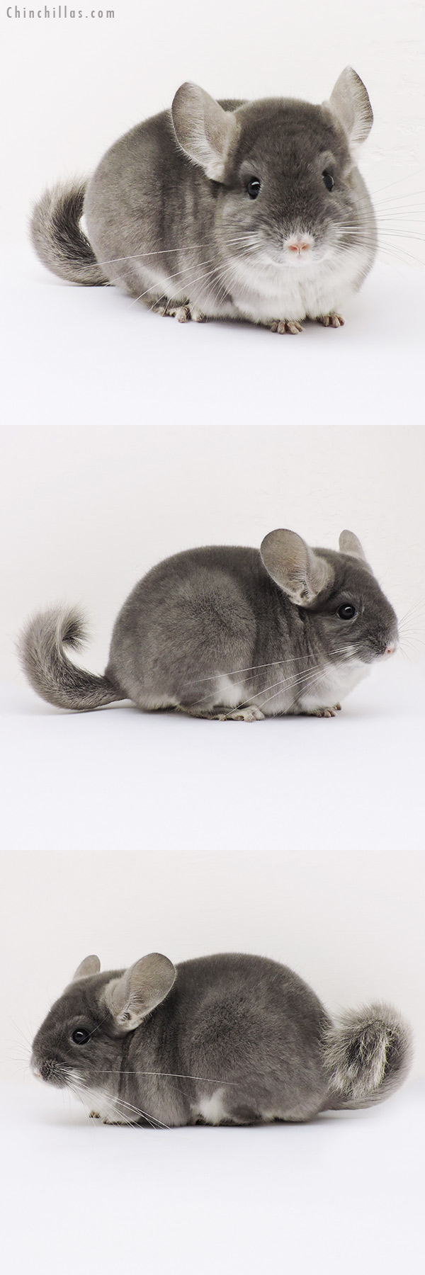 15068 Show Quality TOV Violet Female Chinchilla