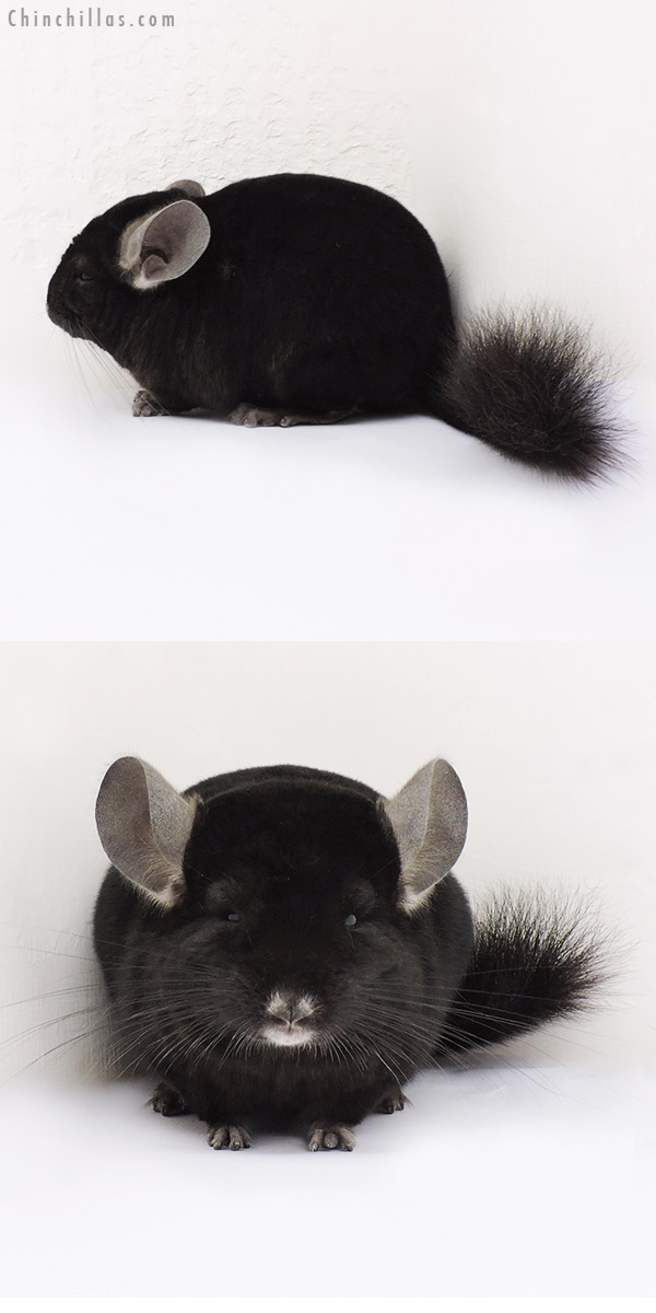 15069 Ebony Female Chinchilla