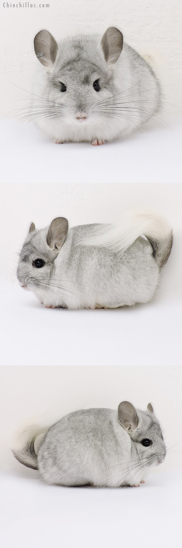 15070 Silver Mosaic CCCU Royal Persian Angora Female Chinchilla
