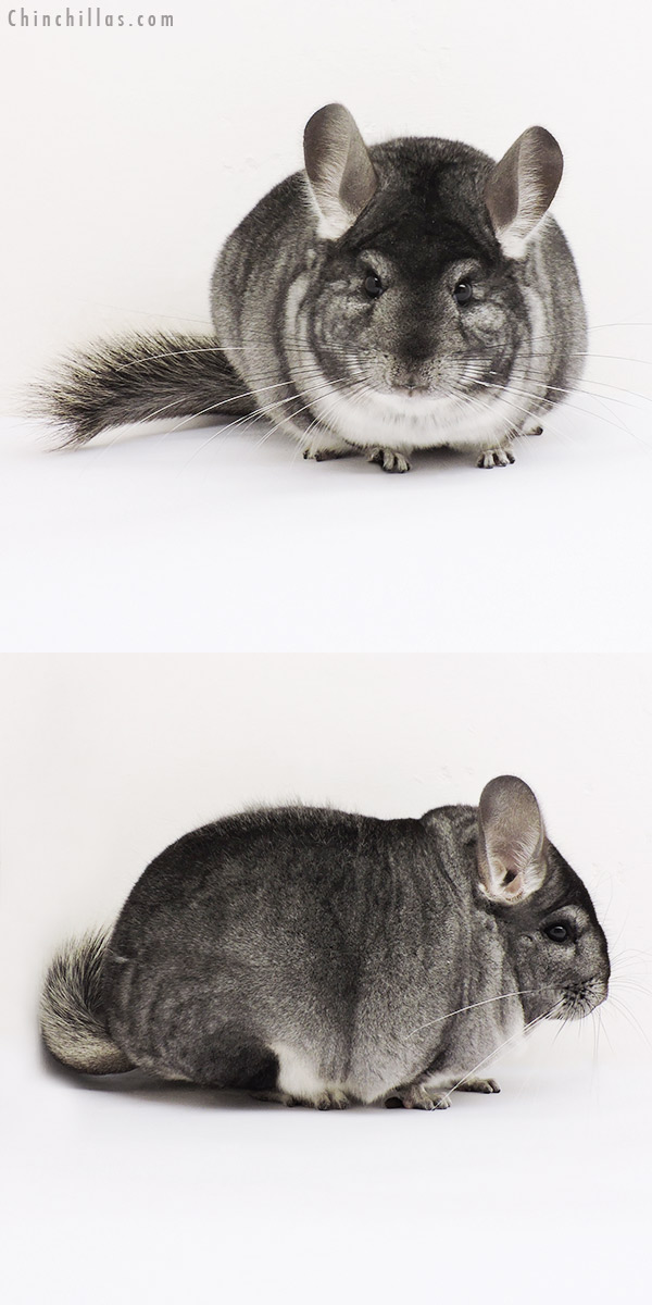 15074 Extra Large Blocky Show Quality Standard Female Chinchilla