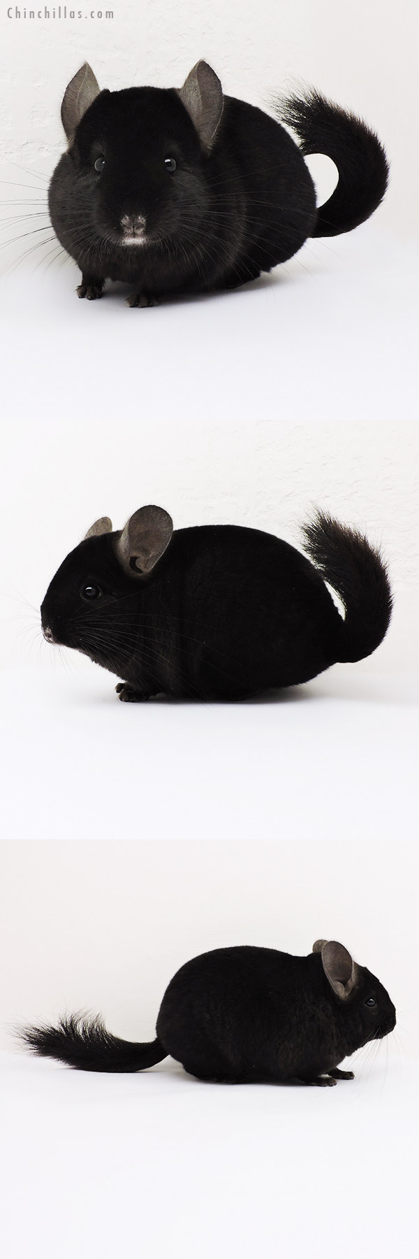 15077 Show Quality Ebony Female Chinchilla