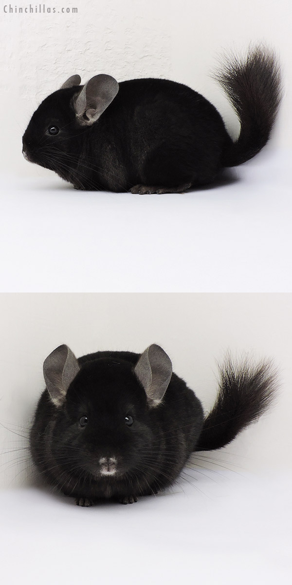 15080 Show Quality Ebony Female Chinchilla