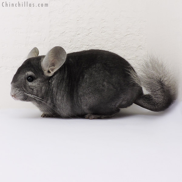 15081 Show Quality Wrap Around Sapphire Female Chinchilla