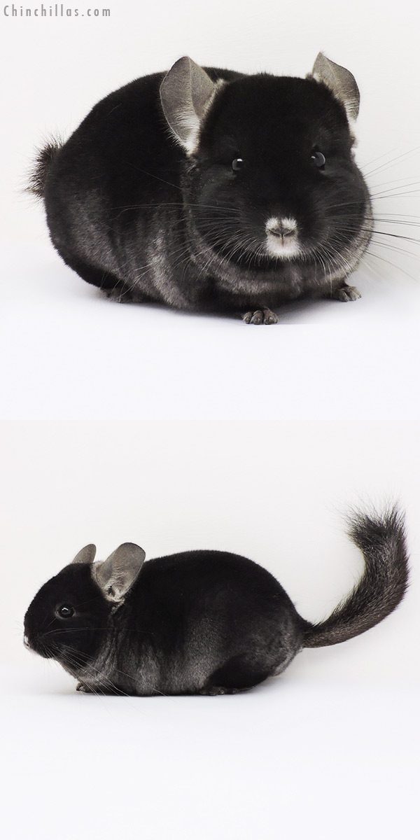 15084 Show Quality TOV Ebony ( Violet Carrier ) Female Chinchilla