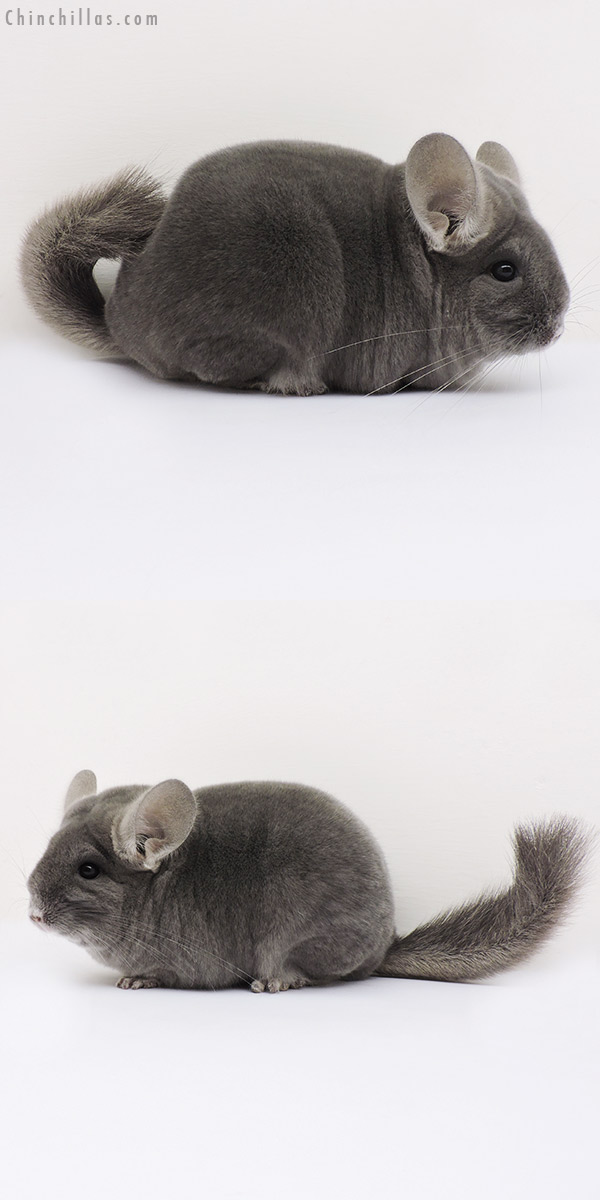 15087 Premium Production Quality Wrap Around Violet Female Chinchilla