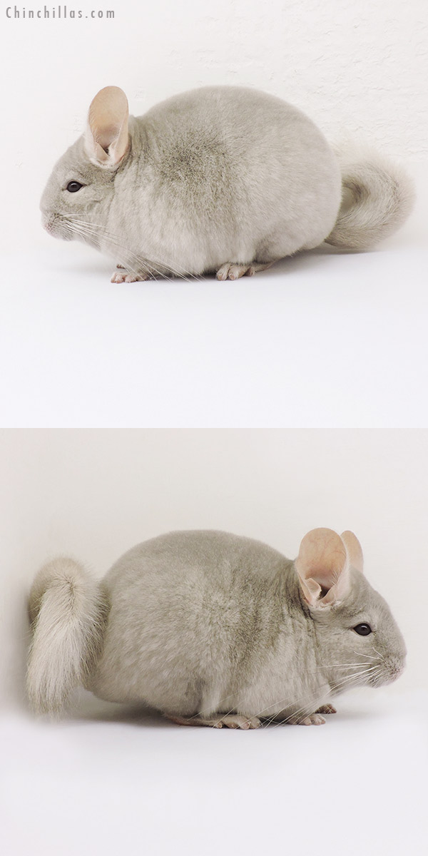 15088 Show Quality Light Tan/Violet Female Chinchilla