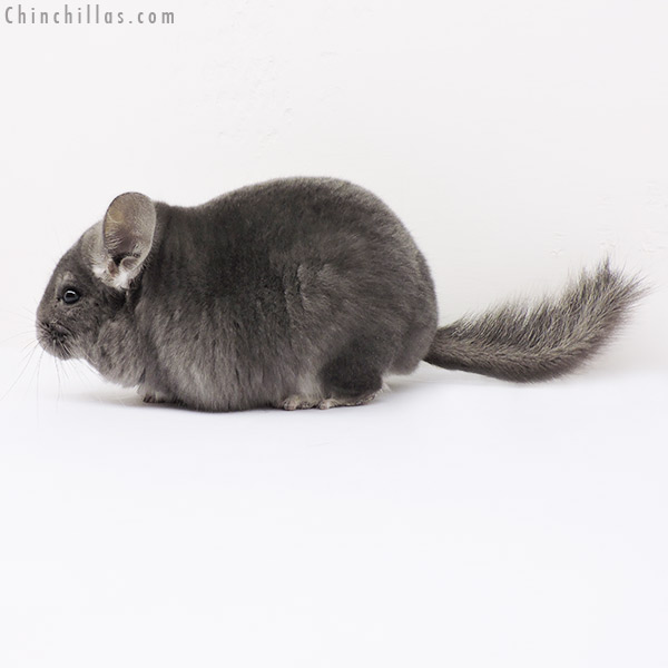 15096 Show Quality Violet ( Ebony Carrier ) Male Chinchilla