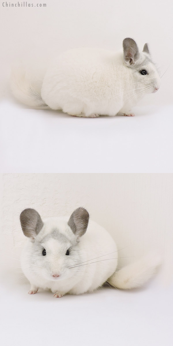 15098 Herd Improvement Quality White Mosaic Male Chinchilla