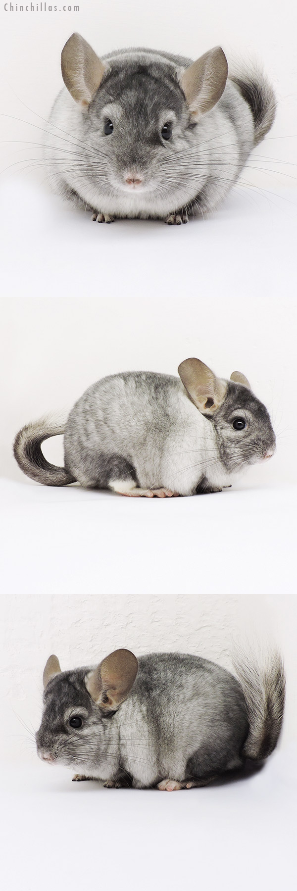 15100 Show Quality Ebony & White Mosaic Male Chinchilla