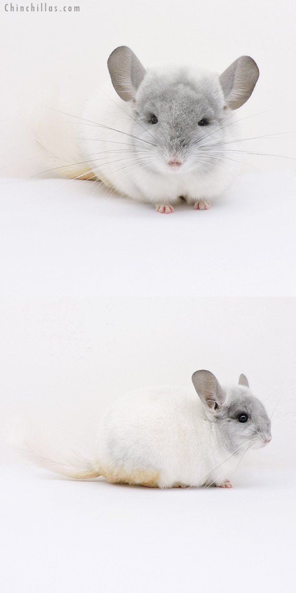 15110 Show Quality Violet & White Mosaic Male Chinchilla