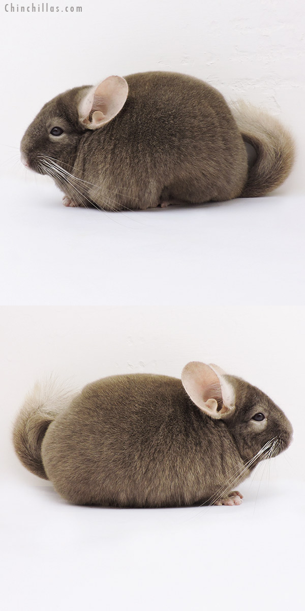 15111 Show Quality Tan Male Chinchilla