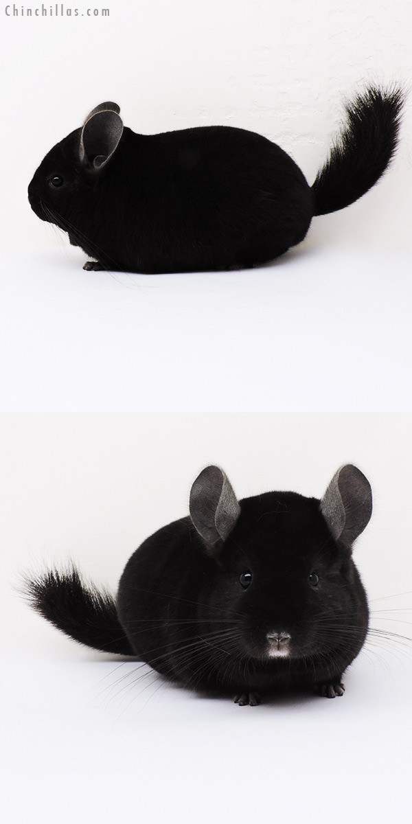 15112 Herd Improvement Quality Ebony Male Chinchilla