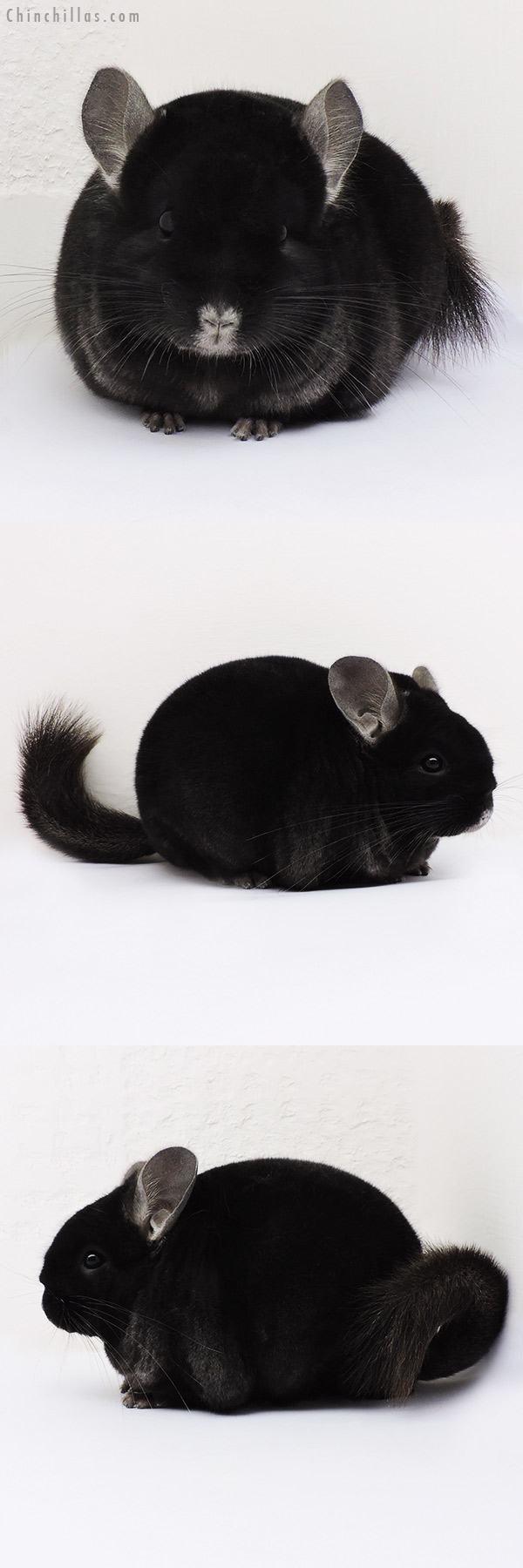 15113 Herd Improvement Quality Brevi Type TOV Ebony Male Chinchilla