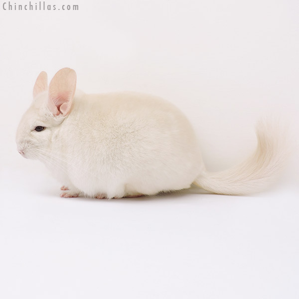 15115 Goldbar Male Chinchilla