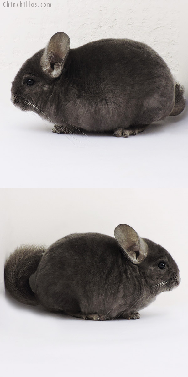 15119 Wrap Around Violet Male Chinchilla