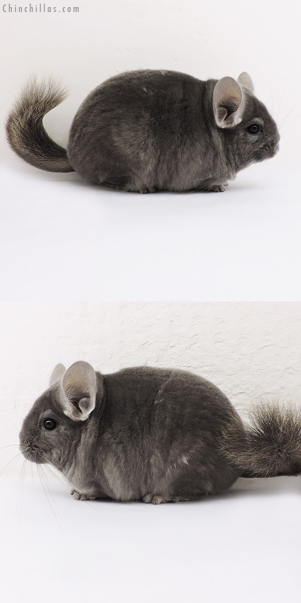 15127 Premium Production Quality Wrap Around Violet Female Chinchilla
