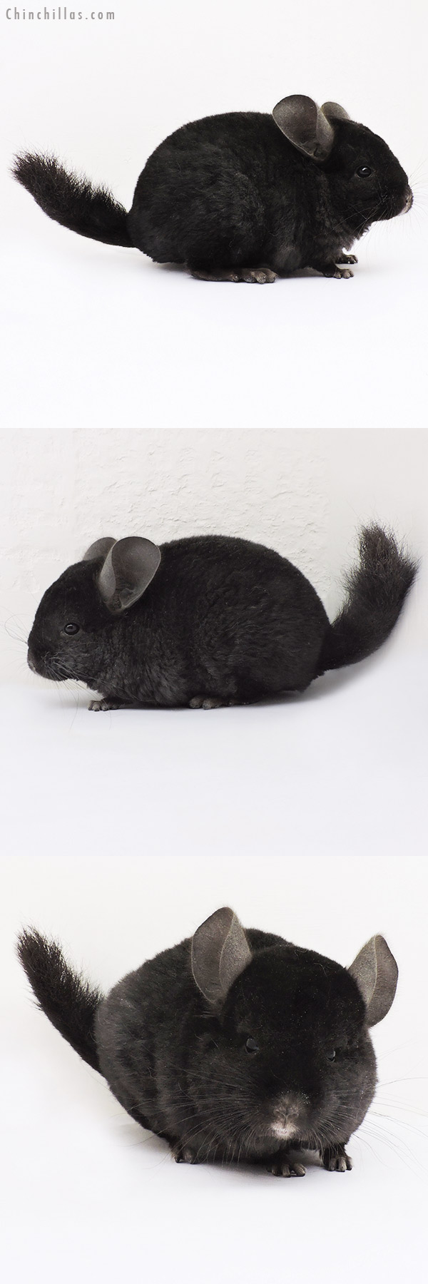 15142 Ebony Quasi Locken Male Chinchilla