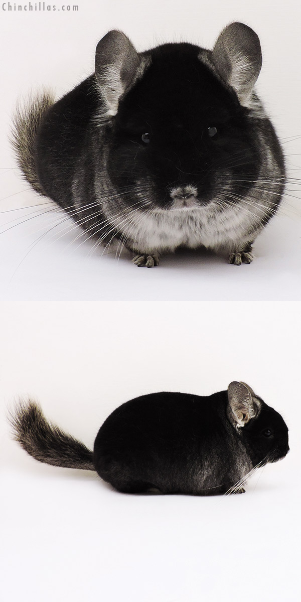 15155 Herd Improvement Quality Black Velvet Male Chinchilla
