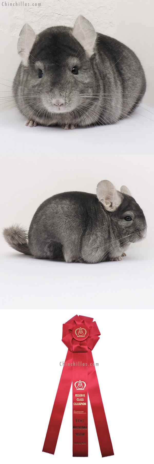 15158 ECBC National Reserve Class Champion Wrap Around Sapphire Female Chinchilla