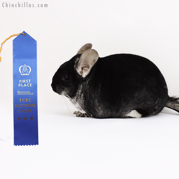 15149 ECBC National 1st Place Black Velvet Male Chinchilla