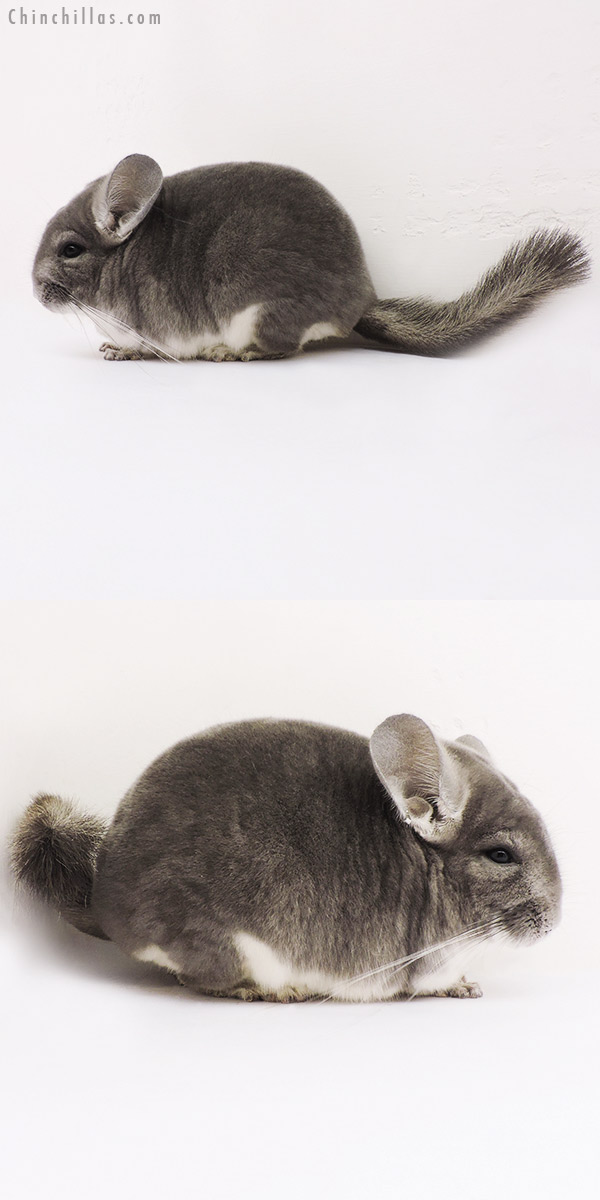 15154 Large Top Show Quality Violet Male Chinchilla