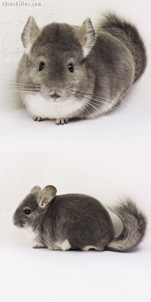 15157 Large Top Show Quality Violet Male Chinchilla