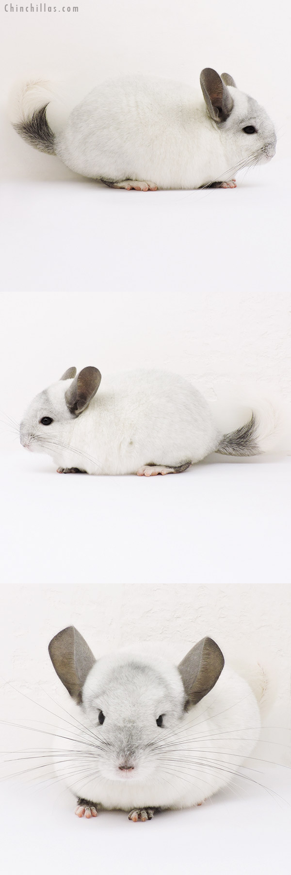 15181 White Mosaic ( Ebony & Locken Carrier ) Female Chinchilla