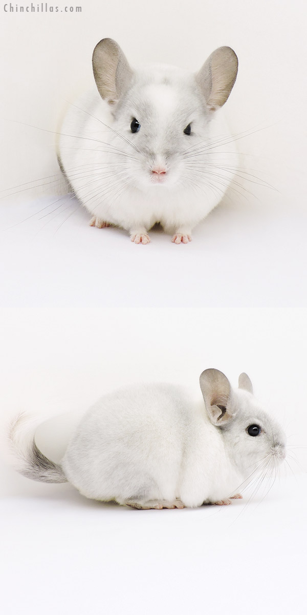 15182 Violet & White Mosaic ( Ebony Carrier ) Female Chinchilla