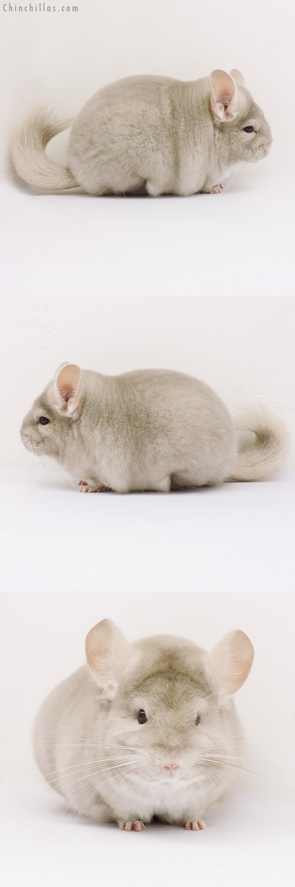 15205 Large Blocky Premium Production Quality Homo Beige Female Chinchilla