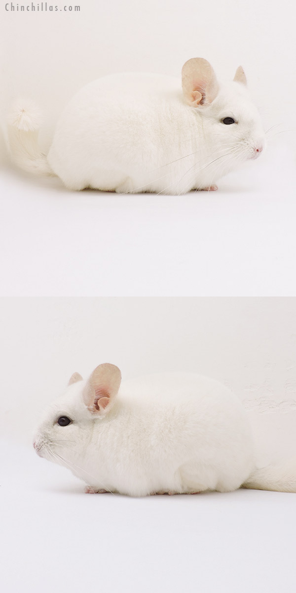 15206 Premium Production Quality Pink White Female Chinchilla