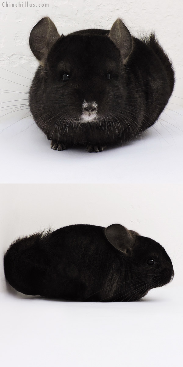 15190 Exceptional Ebony ( Locken Carrier ) Female Chinchilla