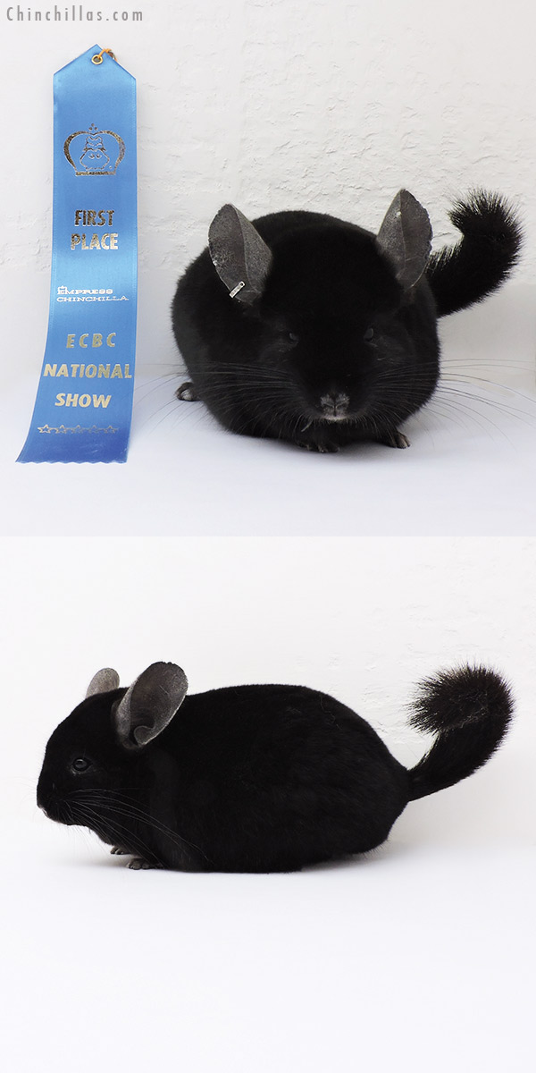 15195 National 1st Place Ebony Male Chinchilla