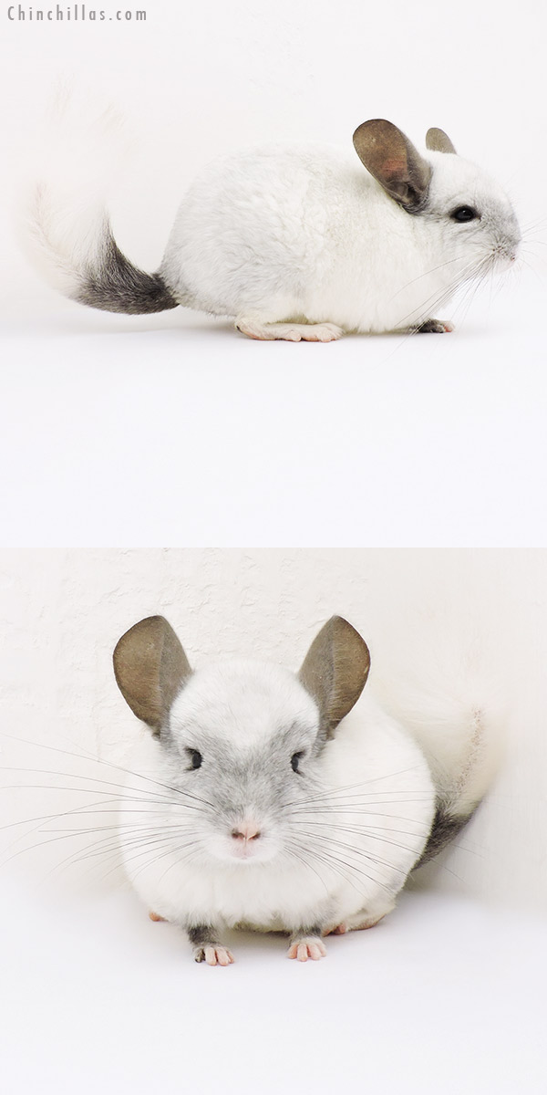 15189 Ebony & White Mosaic ( Locken Carrier ) Male Chinchilla