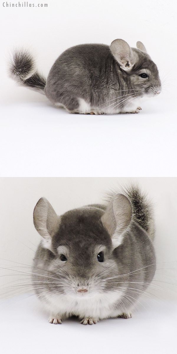15185 Top Show Quality Violet Male Chinchilla