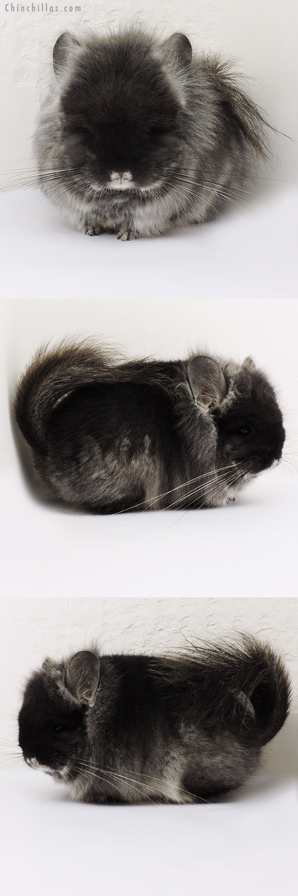 15229 Exceptional Black Velvet CCCU Royal Persian Angora Male w/ Lion Mane & Ear Tufts Chinchilla