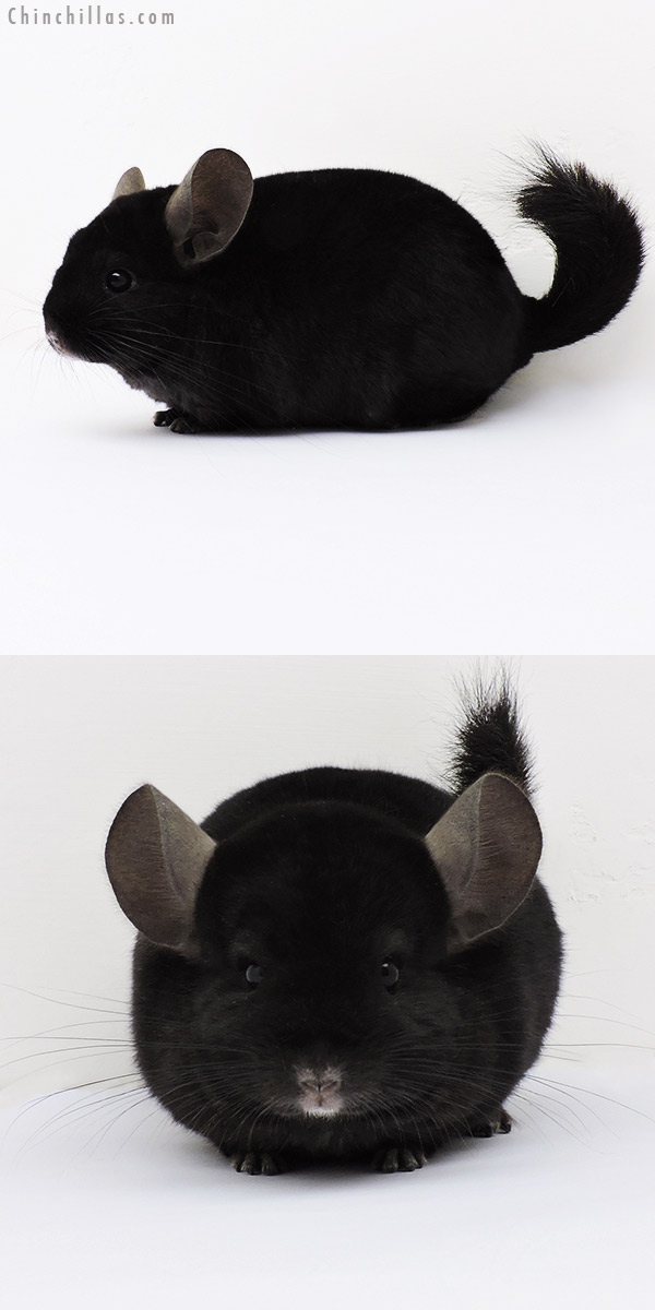 15199 Ebony Quasi Locken Female Chinchilla