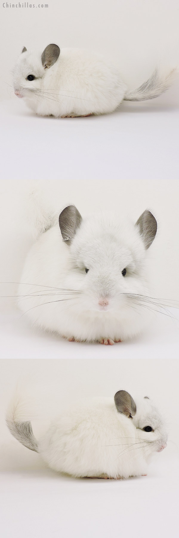 15232 Predominantly White CCCU Royal Persian Angora Female Chinchilla