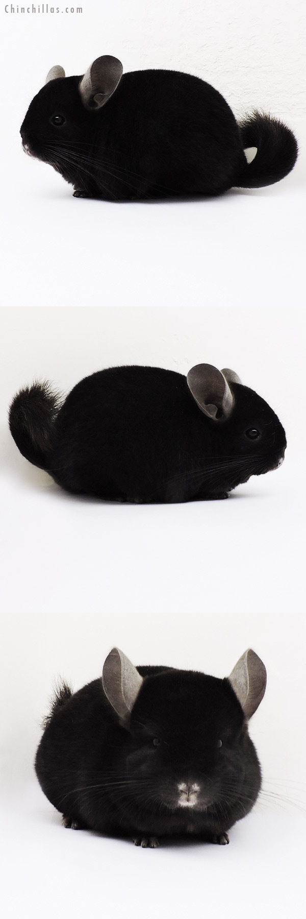 15179 Exceptional Ebony (Locken Carrier ) Female Chinchilla