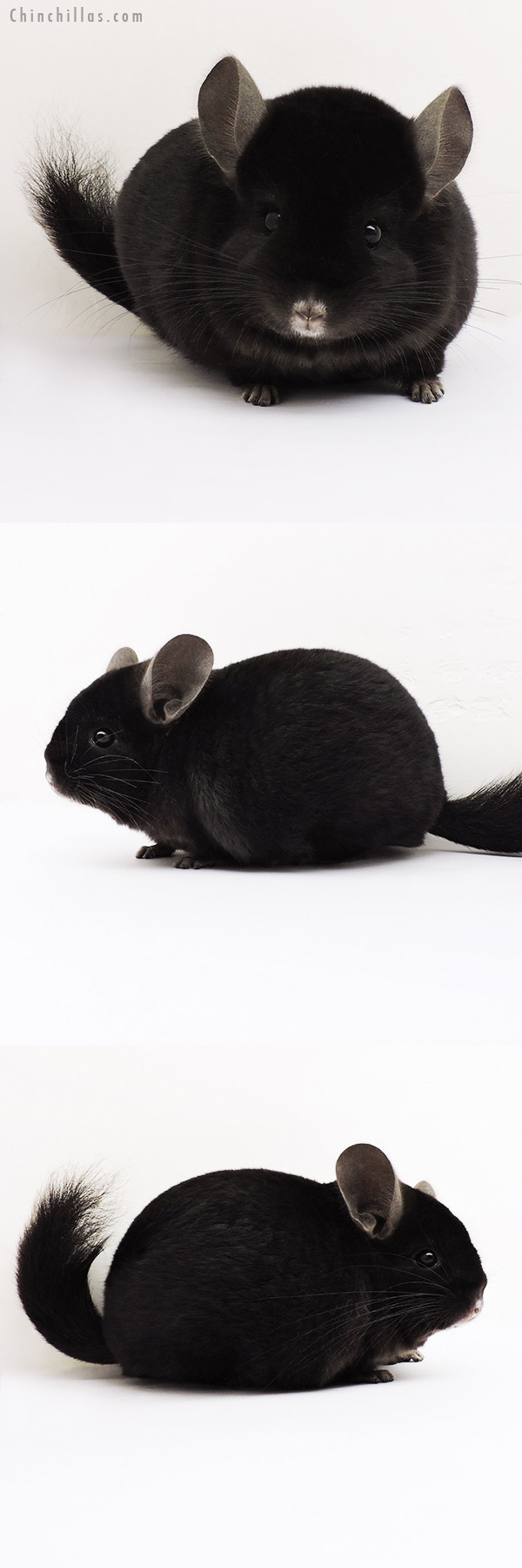 15222 Exceptional Ebony Quasi Locken Male Chinchilla