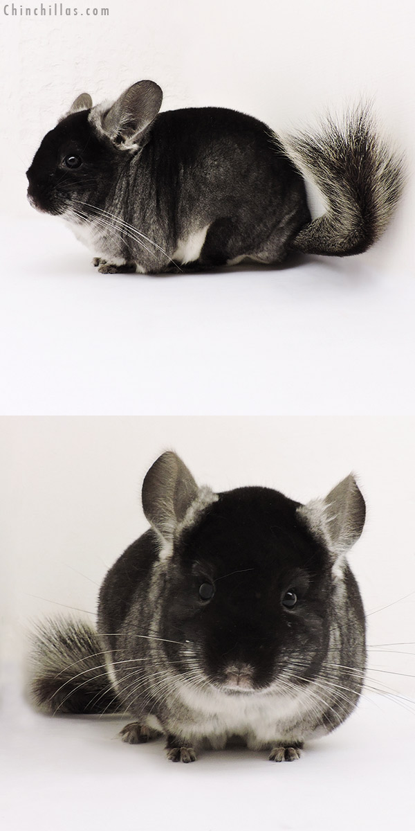 15242 Show Quality Black Velvet ( Violet Carrier ) Female Chinchilla