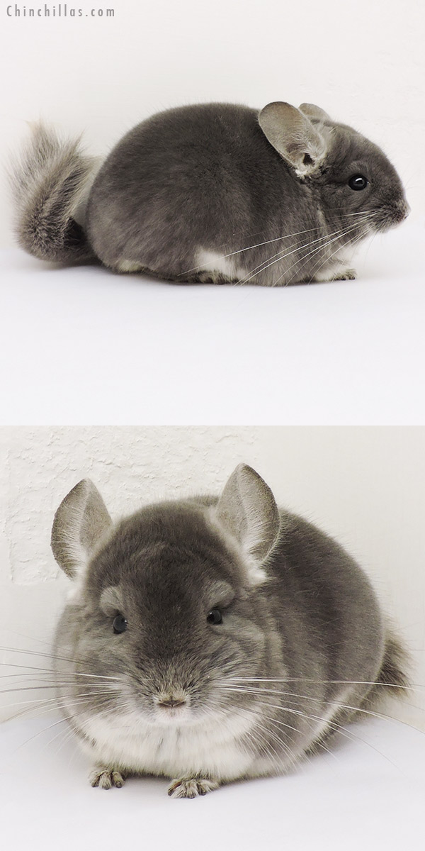 15235 Show Quality TOV Violet Male Chinchilla