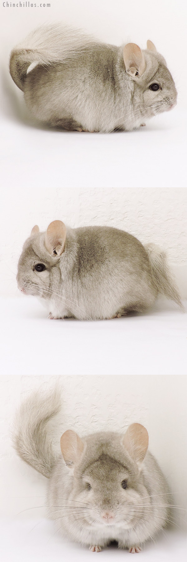 15241 Beige CCCU Royal Persian Angora Female Chinchilla