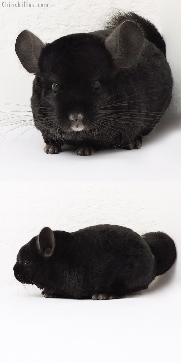 15236 Ebony Quasi Locken Male Chinchilla