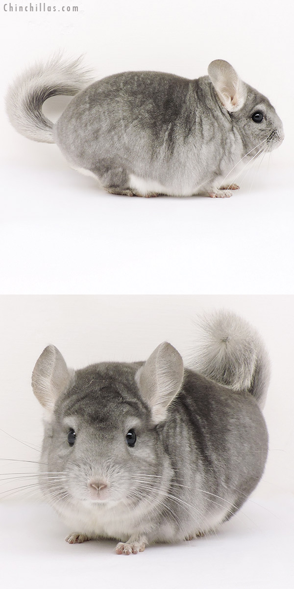 15260 Blocky Show Quality Sapphire Male Chinchilla