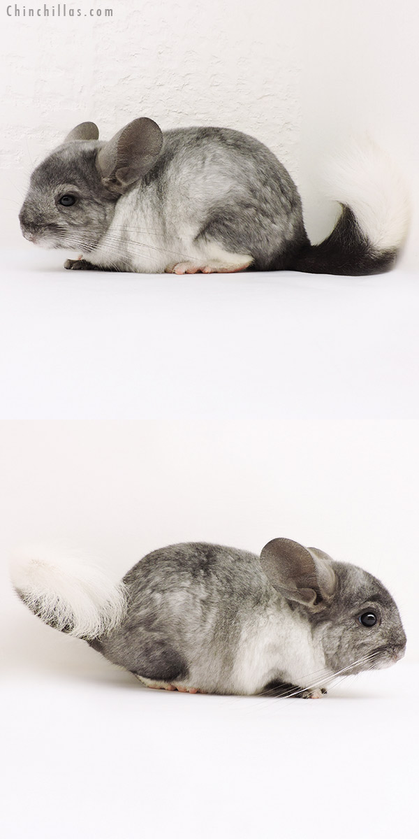 15258 Ebony & White Mosaic ( Locken Carrier ) Male Chinchilla