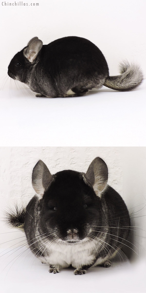 15244 Large Premium Production Quality Black Velvet Female Chinchilla