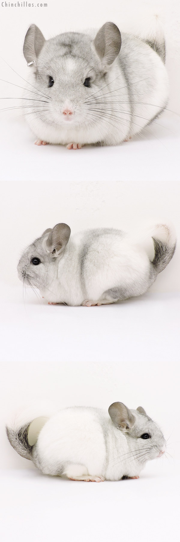 15255 White Mosaic ( CCCU Royal Persian Angora Carrier ) Female Chinchilla