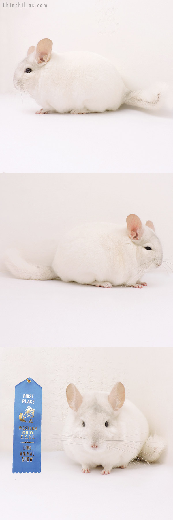 15249 1st Place Pink White Female Chinchilla