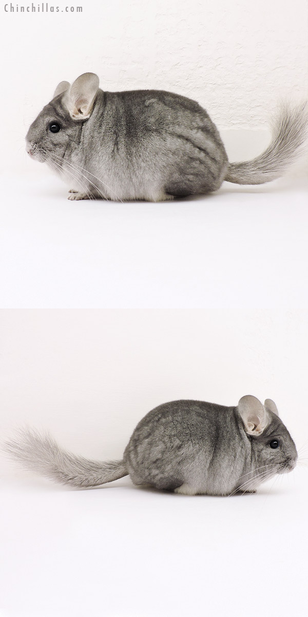 15247 Blocky Premium Production Quality Sapphire ( Ebony Carrier ) Female Chinchilla